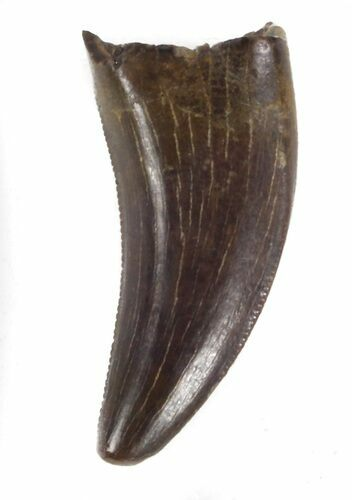".63"" Small Theropod Tooth (Nanotyrannus?) - Montana"
